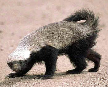 Honey Badger don't give a s### about your layout